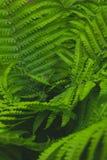 Struthiopteris Matteuccia Ostrichnik обычное весной Зеленый черный папоротник цвести стоковое изображение