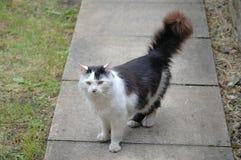 struting在庭院道路下的黑白猫 免版税库存照片