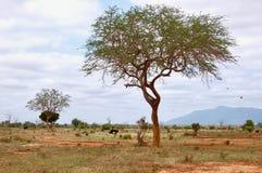 Struts i Kenya Royaltyfri Bild