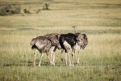 Struts på savannet 2 Royaltyfri Foto