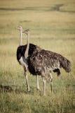Struts på savannet Royaltyfri Fotografi