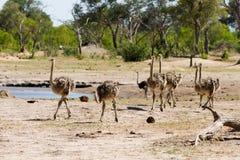 Strutsar för familj ett f i Makololo slättar - Hwange nationalpark Royaltyfri Bild