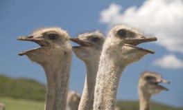 Strutsar i den Klein karooen, Sydafrika Arkivfoto