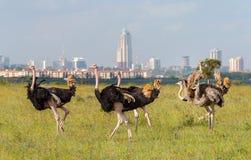 Strutsar i den Nairobi nationalparken fotografering för bildbyråer