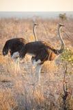 Strutsar i Etosha, Namibia Royaltyfri Foto