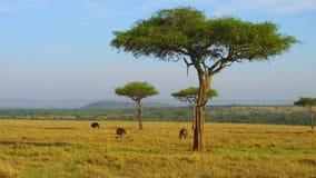 Strutsar och akaciaträd i savann på africa