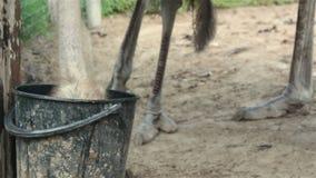 Strutsar på ett lantgårddricksvatten stock video
