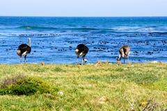 Strutsar vid havet Arkivfoto