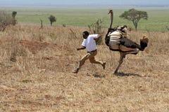 Strutsattack i den Tarangire nationalparken i Tanzania Arkivbilder