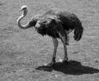 Strutsen är en eller två art av stora flightless fåglar royaltyfri foto