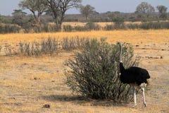 Strutsfågel som fostrar fågelungar i savannahen royaltyfria foton