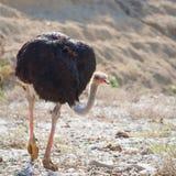 Strutsfågel som går med huvudet och halsen ner Arkivfoto