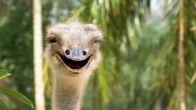 Strutsframsida som ler i djungeln thailand stock video