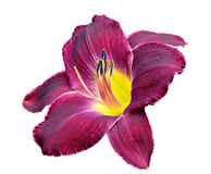 Strutters Ball Daylily Royalty Free Stock Photography