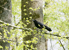 A strutting Black Crow with a peanut Royalty Free Stock Photo