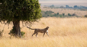 Strutting Cheetah Royalty Free Stock Photos