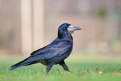 Strutting corvo Immagini Stock