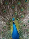 Strutting del pavone Fotografia Stock Libera da Diritti