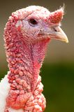 Strutting die Türkei Lizenzfreies Stockbild