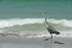 Strutting Heron Stock Photo