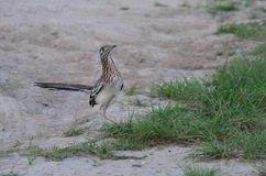 Strutting His Stuff. After completely his mating ritual, this Greater Roadrunner on a ranch in South Texas struts around, apparently very proud of himself royalty free stock photos