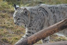 Strutting Lynx. Lynx strutting around in early Spring Stock Photo