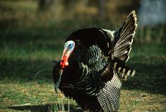 Strutting Merriam's Wild Turkey Stock Photos