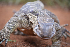 Strutting monitor lizard close-up Stock Photos