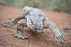 Strutting monitor lizard Royalty Free Stock Photo