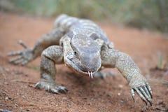 Strutting monitor lizard Royalty Free Stock Photo