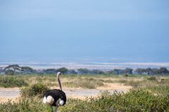 Strutting Ostrich Stock Images
