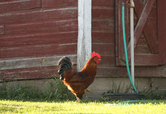 Strutting Rooster Stock Images