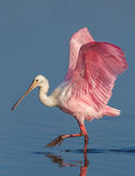 Strutting roseate spoonbill. Prances through the water with feet raised high and wings spread Stock Image