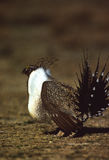 Strutting Sage Grouse. Male sage grouse displays in full strut on spring lek Royalty Free Stock Photo
