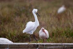 Strutting Snowy Egret Royalty Free Stock Photography