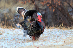 Strutting tom turkey in snow. With busted up tail feathers Stock Photo