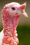 Strutting Turkije Royalty-vrije Stock Afbeelding