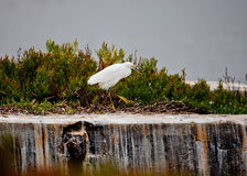 Strutting White Egret Stock Photography