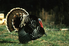 Strutting Wild Turkey Royalty Free Stock Image