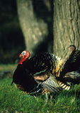 Strutting Wild Turkey. A male wild turkey in full strut in spring from the side Stock Photography