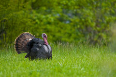 Strutting wild turkey Stock Photography