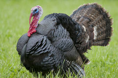 Strutting wild turkey. A strutting wild turkey in a grassy field Royalty Free Stock Photos