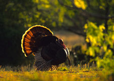 Strutting Wild Turkey Backlit. A backlit image of a male wild turkey in full strut in spring Stock Images