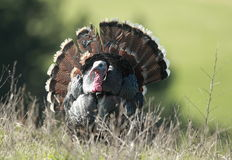Strutting Wild Turkey. A wild turkey displays in a natural environment Stock Image