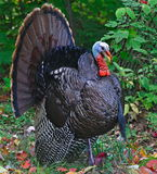 Strutting Wild Turkey (Meleagris gallopavo) Stock Images