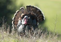 Strutting Wild Turkije Stock Afbeelding