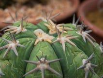 Struttura alta chiusa del cactus Immagine Stock