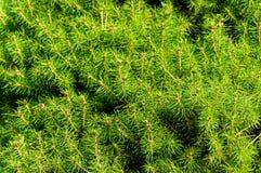 Struttura alta vicina del pino Fotografia Stock