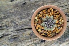 Struttura alta vicina della spina del cactus Fotografia Stock Libera da Diritti