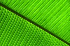 Struttura alta vicina di estremo delle vene di foglia di palma verdi Fotografia Stock Libera da Diritti